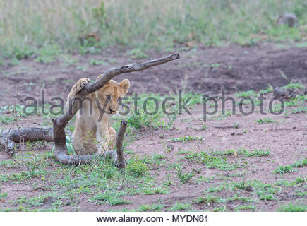 A lion cub rests its paw on a fallen tree branch. - Stock Photo