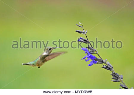 A female ruby throated hummingbird hovers near a black and blue salvia blossom. - Stock Photo