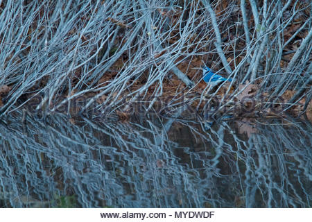 A Blue Jay, Cyanocitta cristata, forages in the bushes along the edge of Walden Pond. - Stock Photo