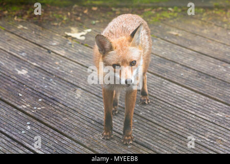 Bournemouth, Dorset, UK. 7th June 2018. Urban Fox, Vulpes Vulpes, looking for food in Bournemouth garden. Credit: Carolyn Jenkins/Alamy Live News - Stock Photo