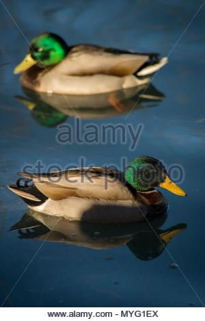 Two male Mallard ducks (Anas platyrhynchos). - Stock Photo