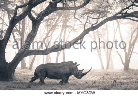 A Southern White Rhino moves through a mist-shrouded fever tree forest. - Stock Photo