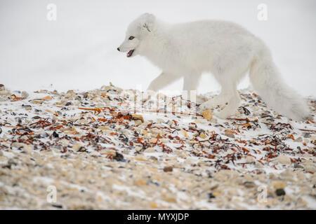 Arctic fox (Vulpes lagopus) Hunting along Hudson Bay gravel beach - Stock Photo