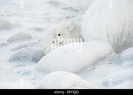 Arctic fox (Vulpes lagopus) Resting, concealed among ice-coated shoreline rocks - Stock Photo