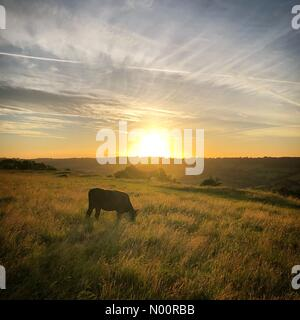 Batheaston, Bath, UK. 21st June, 2018. A cow grazing during the Summer Solstice sunrise on top of Little Solsbury Hill near Bath, UK Credit: Alex Stoneman & Billy-Jay Starling/StockimoNews/Alamy Live News - Stock Photo
