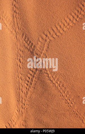 Beetle Tracks in Sahara Desert, Merzouga, Morocco - Stock Photo
