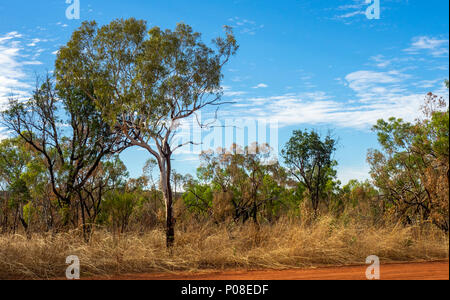 Eucalyptus gum trees in savannah woodland of Kimberley WA Australia. - Stock Photo