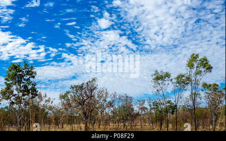 Eucalyptus gum trees in the savanna woodland of the Kimberley WA Australia. - Stock Photo