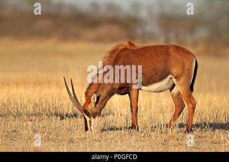 Female sable antelope (Hippotragus niger) grazing, South Africa - Stock Photo