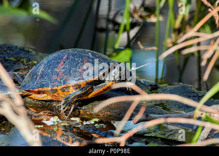 Florida Red-Bellied turtle sunbathing at Corkscrew Swamp Sanctuary, Venice, Florida - Stock Photo