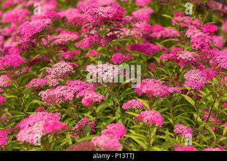 Flowering Patagonian verbena / nature view - Stock Photo
