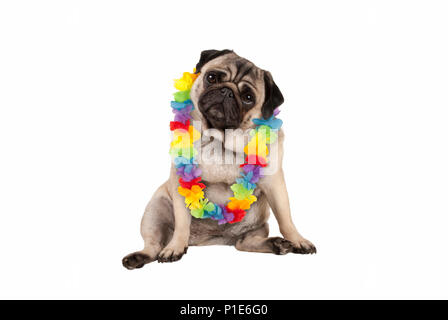 cute sweet pug puppy dog sitting down wearing hawaiian flower garland, isolated on white background - Stock Photo