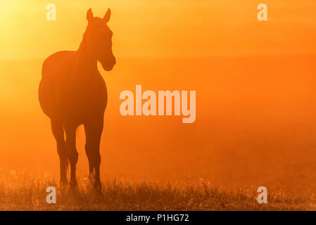 Wild horse grazes in the meadow at sunset - Stock Photo
