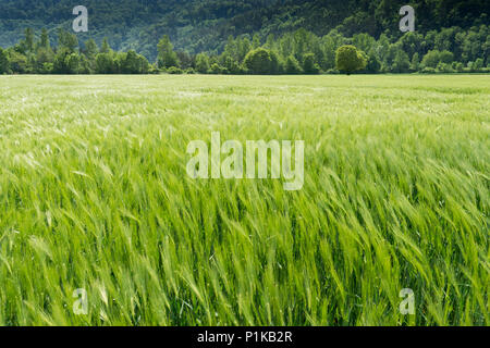 expansive wheat field in lustrous green with a forest in the background - Stock Photo