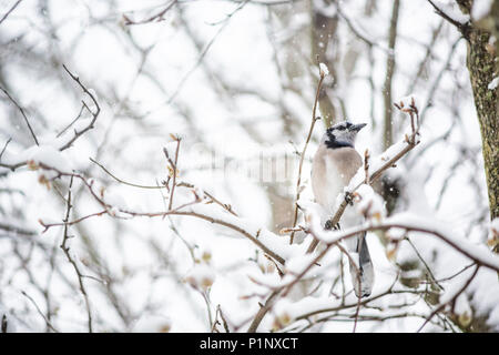 Closeup of one blue jay, Cyanocitta cristata, bird sitting perched on tree branch during heavy winter covered in snow in Virginia, snow flakes falling - Stock Photo