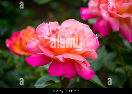 Close-up of a blossoming pink rose; Boston, Massachussets, United States of America - Stock Photo