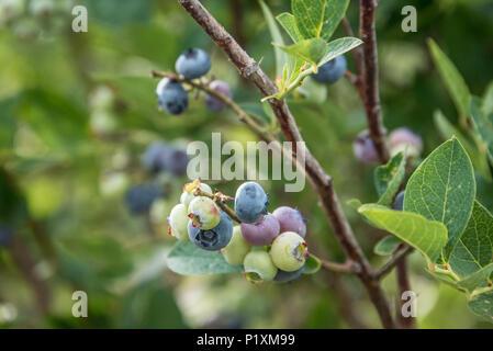 Ripening blueberries at an organic berry farm in Broken Arrow, Oklahoma. (USA) - Stock Photo