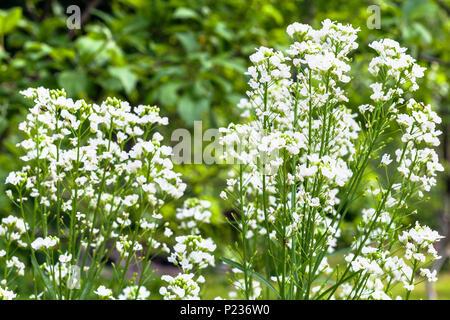 flowering horseradish (Armoracia Rusticana) plant in garden in summer day - Stock Photo