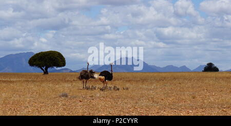 Family of ostriches in Africa - Stock Photo