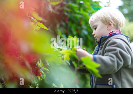 Two years old girl picking redcurrants in the garden, harvest, biological, girl, Baltic sea, MR, Bornholm, Denmark, Europe - Stock Photo