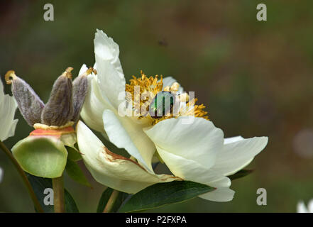 green golden shimmering beetle on peony flower, protaetia aeruginosa on paeony blooming - Stock Photo