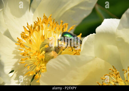 paeony blooming in springtime with protaetia speciosissma beetle on it, green golden shimmering beetle in flowering peony - Stock Photo