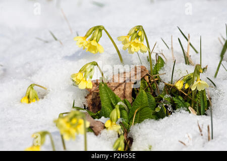 Cowslips in snow, Primula elatior, Germany - Stock Photo