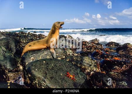 Galapagos Sea Lion, Zalophus wollebaeki, Fernandina, Galapagos Islands, Ecuador, South America - Stock Photo
