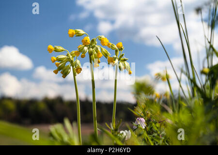 Cowslip, Primula veris, Primula officinalis, Upper Bavaria, Germany, Europe - Stock Photo