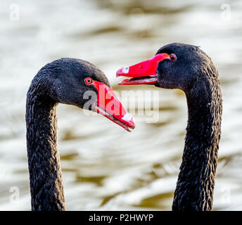 Courtship display of a pair of Black Swans Cygnus atratus head bobbing and calling - Slimbridge UK - Stock Photo