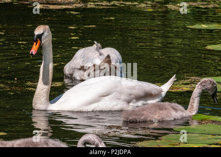 Mute swan family parents and cygnets on the Sankey canal. - Stock Photo