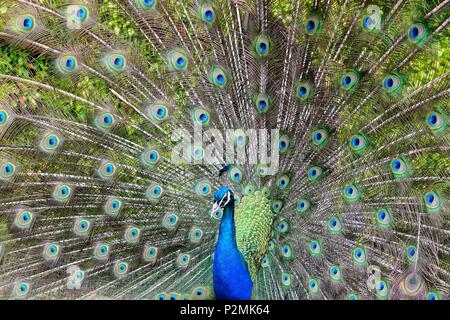 Portrait of a peacock showing it's tail feathers - Stock Photo