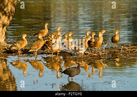 Flock of beautiful plumed whistling ducks, Dendrocygna eytoni, wading and reflected in shallow blue water of lake at Bundaberg Australia - Stock Photo