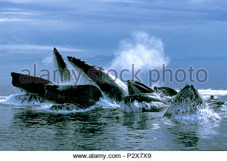 Humpback whales (Megaptera novaeangliae), feeding at surface, Alaska, USA - Stock Photo