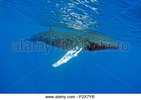 Humpback whale (Megaptera novaeangliae), calf, Silverbanks, Dominican Republic - Stock Photo