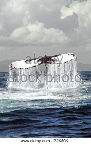 Descending Humpback whale (Megaptera novaeangliae) shows its flukes, Silverbanks, Dominican Republic - Stock Photo