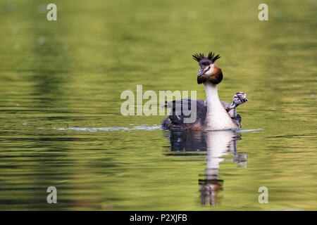 Beautiful specimen of female of great crested grebe carrying her little chick on the back and swimming in the river, horizontal image - Stock Photo