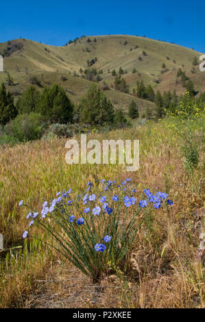 Blue flowers in grassland, Pine Creek Conservation Area, Journey through Time National Scenic Byway, Oregon - Stock Photo
