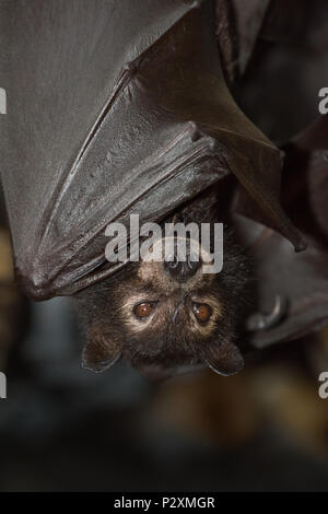 A Black Flying Fox named Zena at a wildlife rescue centre in Kuranda, Queensland. Often considered pests, flying foxes are keystone pollinators. - Stock Photo
