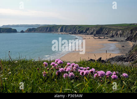 Pink thrift wildflowers growing along the Pembrokeshire Coast Path near Marloes Sands beach in springtime in West Wales UK  KATHY DEWITT - Stock Photo