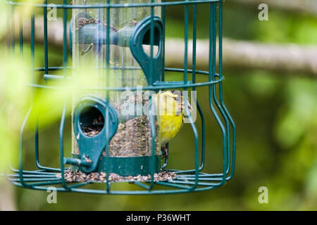 Eurasian Siskin (Carduelis spinus) male finch in spring plumage on a garden bird feeder in a hedgerow. North Wales, UK, Britain - Stock Photo