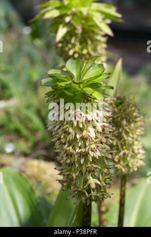 Eucomis bicolor. Two coloured pineapple lily. - Stock Photo
