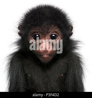 Red-faced Spider Monkey, Ateles paniscus, 3 months old, in front of white background - Stock Photo