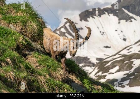 Alpensteinbock (Capra ibex) im Nationalpark Hohe Tauern, Kärnten, Österreich  |   Alpine ibex at High Tauern National Park, Austria - Stock Photo