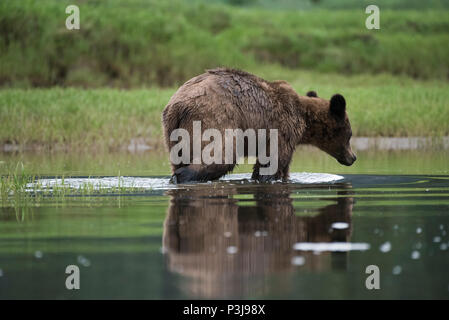 Brown bear, grizzly bear (Ursus arctos) swimming in the Khutzeymateen Grizzly Sanctuary, British Columbia, Canada - Stock Photo