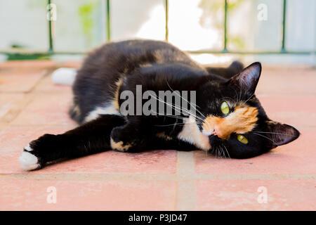 Beautiful calico tortoiseshell tabby cat lying on a balcony - Stock Photo