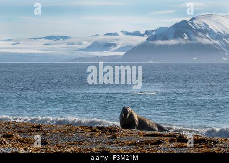 Norway, Svalbard, Spitsbergen, Isfjord, Poolepynten. Atlantic walrus (Odobenus rosmarus rosmarus) coastal haul out. - Stock Photo