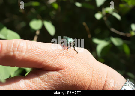Cetonia aurata - rose chafer or the green rose chafer - beetle on a hand - Stock Photo
