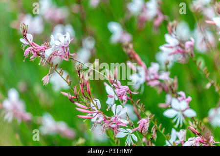 Lindheimer's beeblossom, Gaura lindheimeri flower - Stock Photo