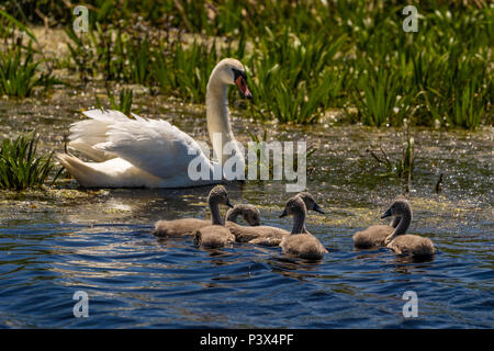 Swan and cygnets in Danube Delta. Focus on the babies - Stock Photo